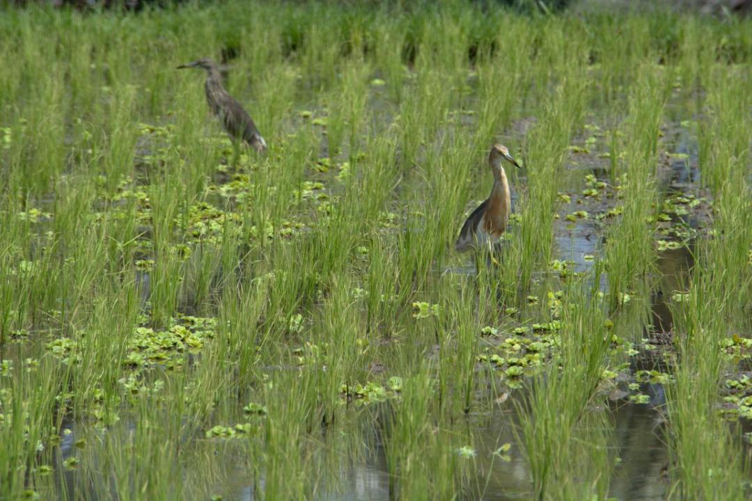 oiseaux dans les rizières dans le bali nature