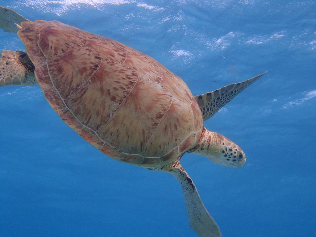 tortue marine des caraibes