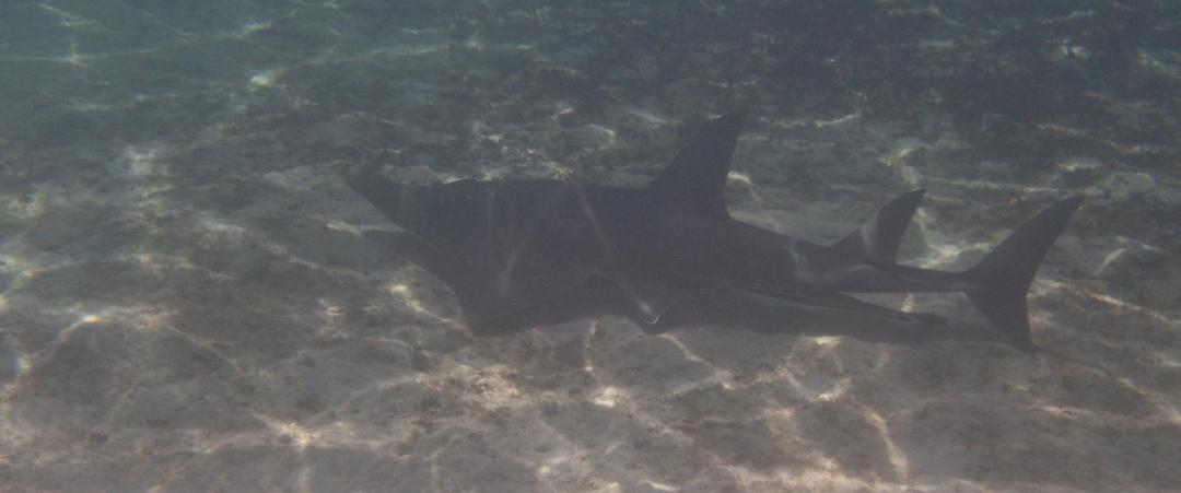 requins près de la barrière de corail
