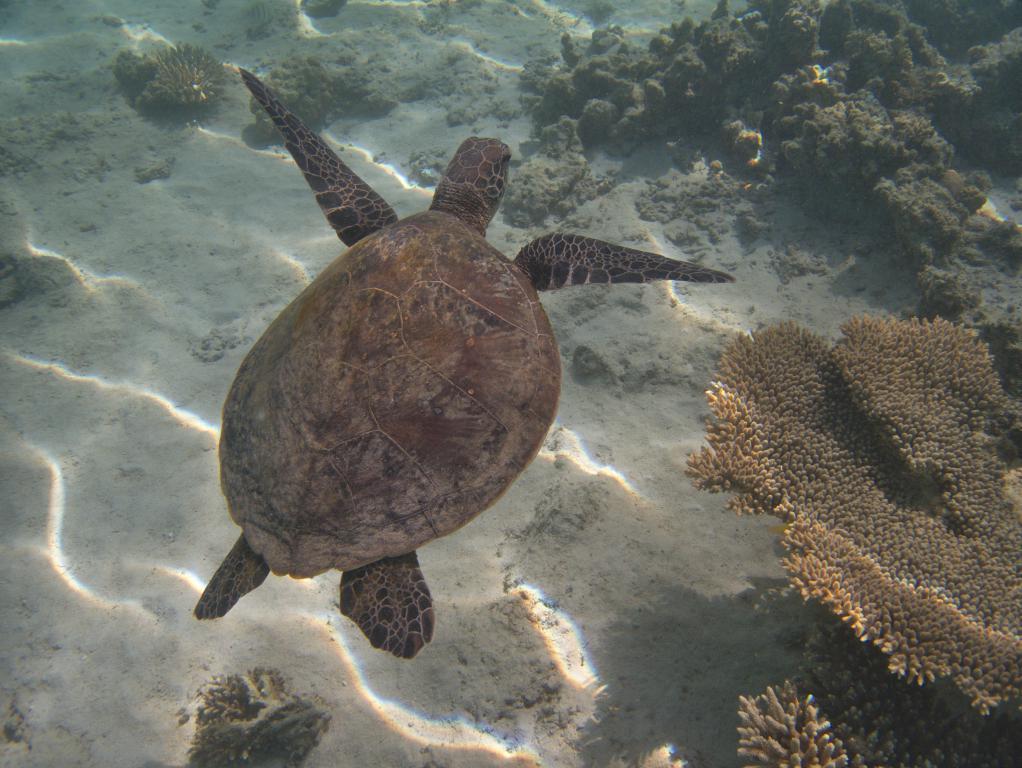tortue marine près de la barrière de corail
