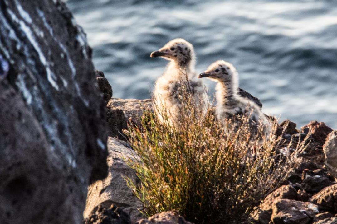 nichée d'oiseaux sur ustica ile méditerranéenne