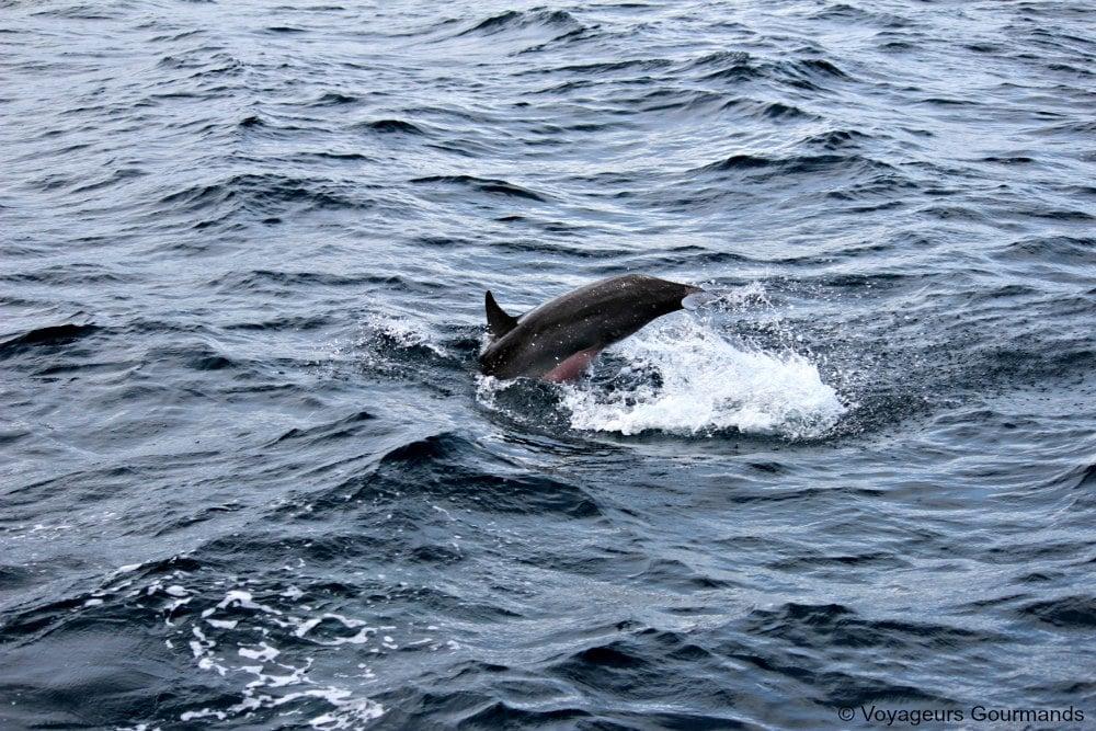 dauphins-en-martinique-11
