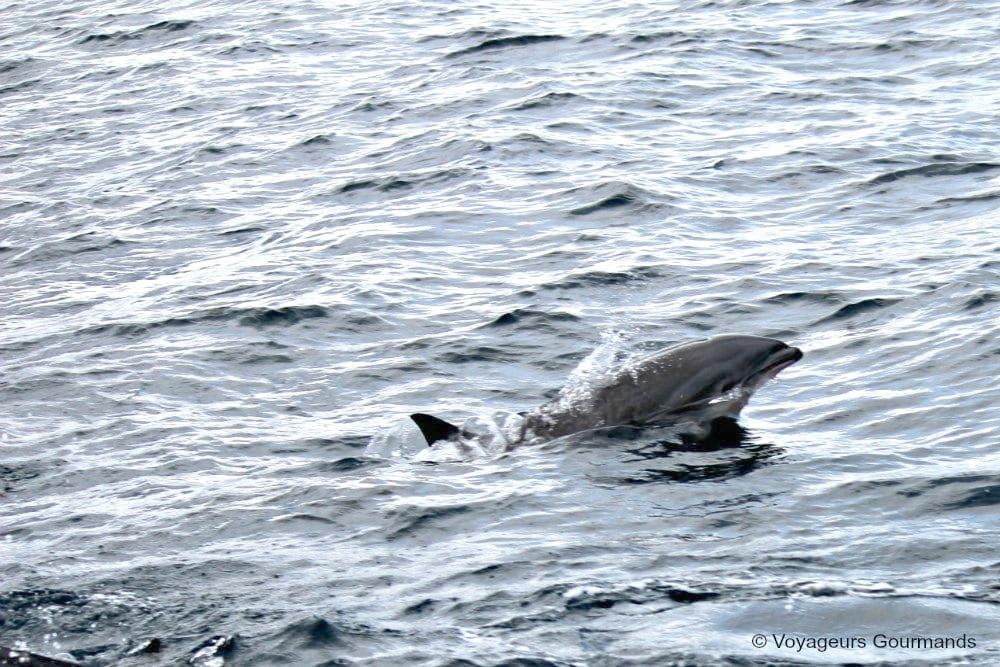 dauphins-en-martinique-15