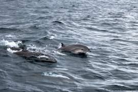 dauphins-en-martinique-16