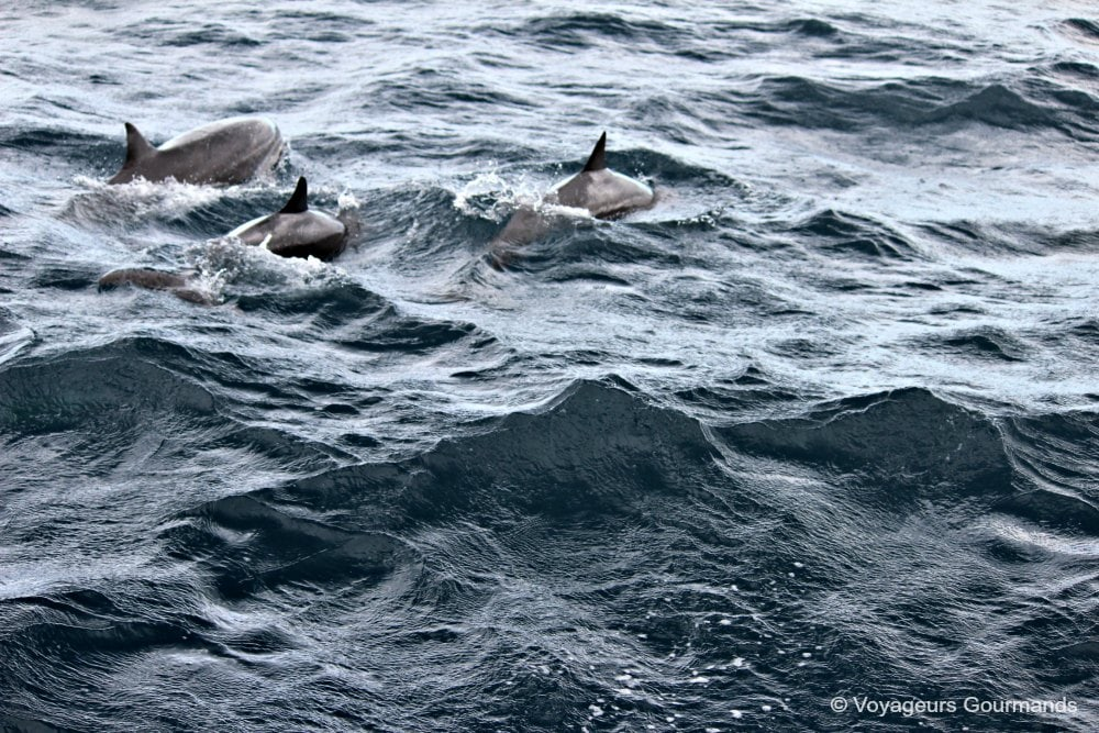 dauphins-en-martinique-19