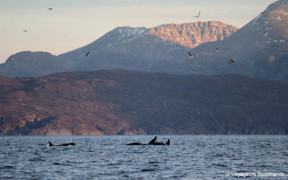 orques et baleines en norvege (10)