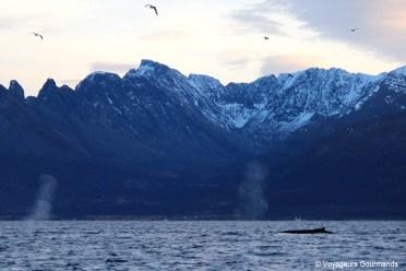 orques et baleines en norvege (25)