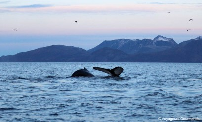 orques et baleines en norvege (28)