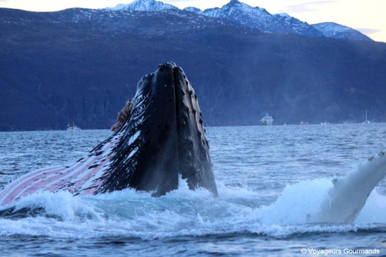 orques et baleines en norvege (32)