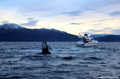 orques et baleines en norvege (7)