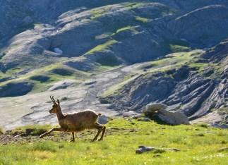 Isard au Mont Perdu, Pyrénées Espagnol