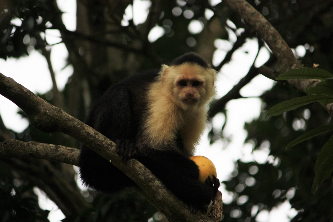 Singe Capucin, Lost and Found, Panama