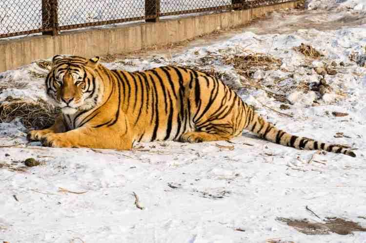 tigre siberien harbin