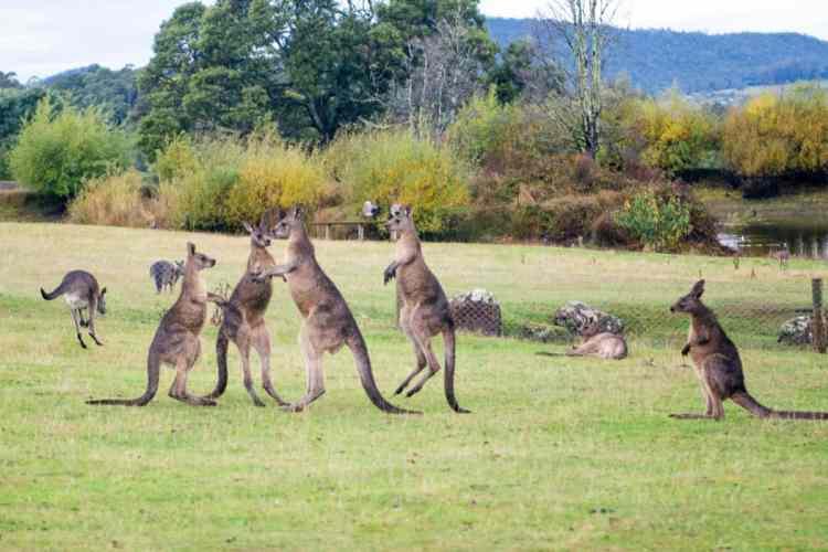 Tasmanie kangourou