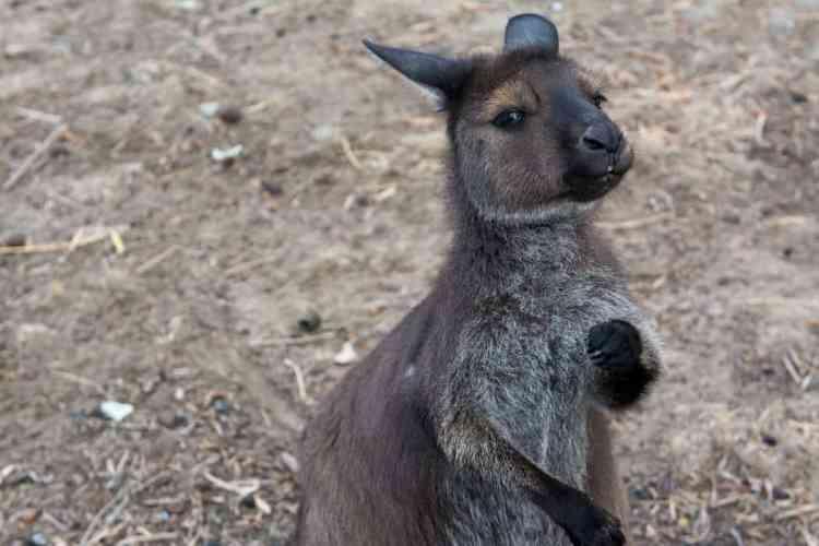 kangourou kangoroo island