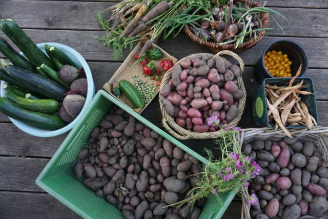 ernte, kartoffeln, mohrrueben, paprika, rote beete, feuerbohnen, garten
