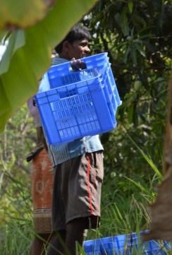 vrindavan, farm, natural, produce, mangoes, organic mango, organic mangoes, naturally ripened, organic alphonso, organic hapus, hapus, alphonso, rajapuri, batli, kesar, dasseriya, totapuri, sindhu, farm fresh, farm to fork, slow food