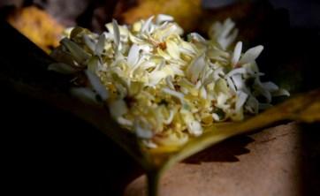 Indigenous: Moringa flowers