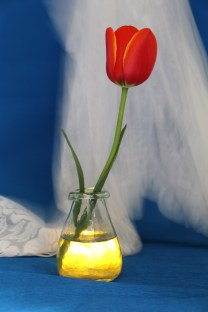 rode tulp, kant