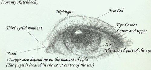 small resolution of seeing the eye in a new light v rtifacts rh vrtifacts com cow eye parts blank