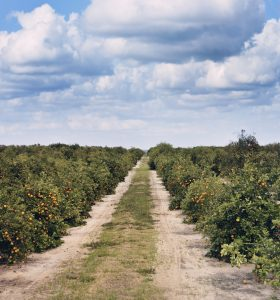 Orange Trees With Fruits In Florida Plantation