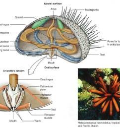 echinoidea [ 1061 x 800 Pixel ]