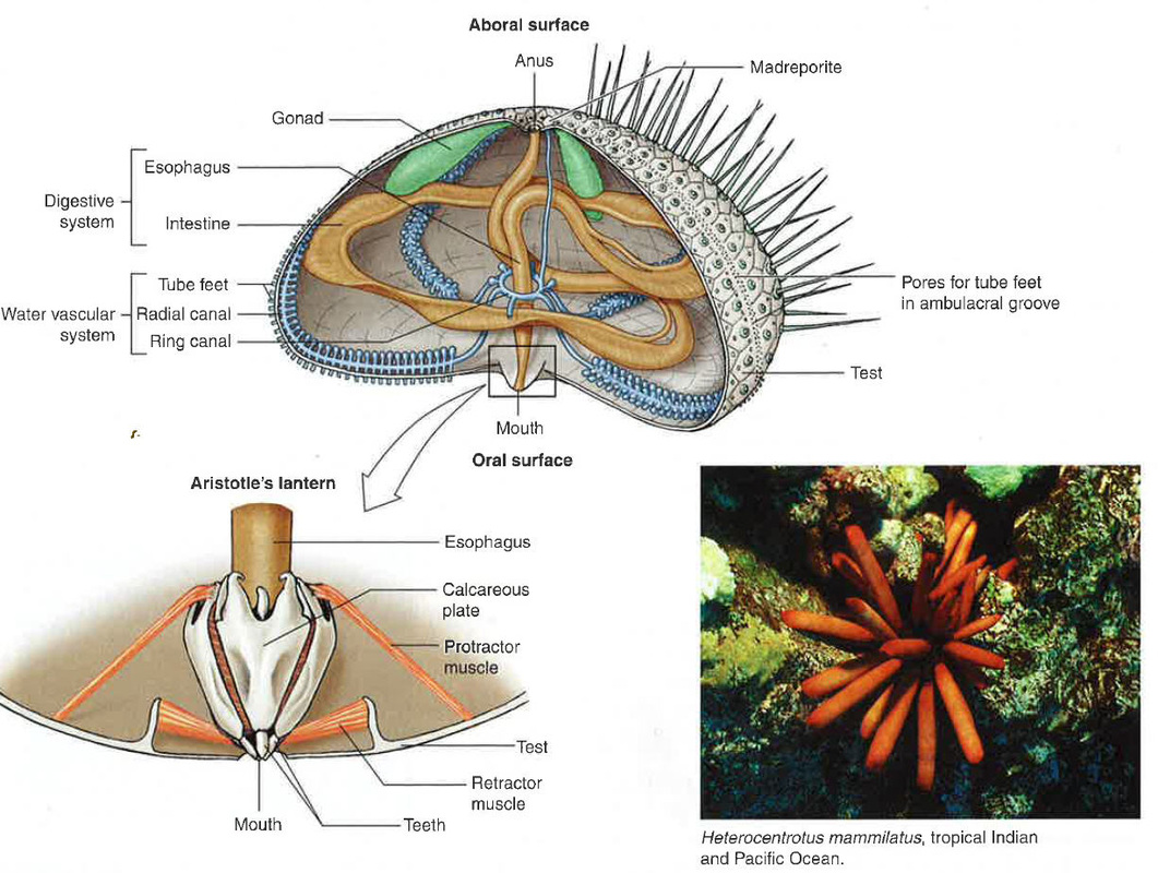 hight resolution of echinoidea