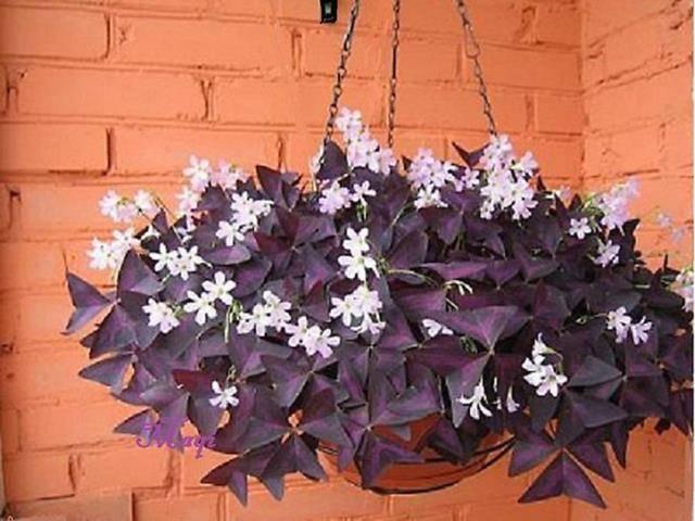 Цветок доброе утро уход в домашних условиях