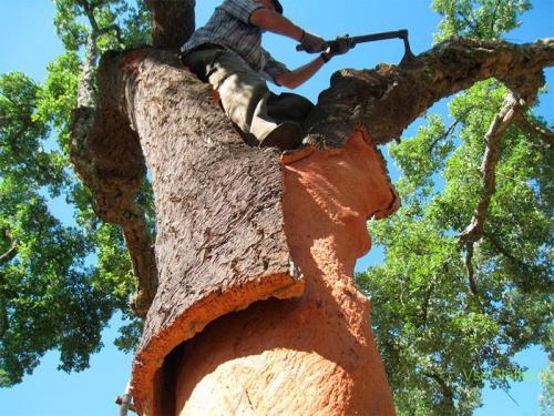 Срезание коры с пробкового дерева - фото