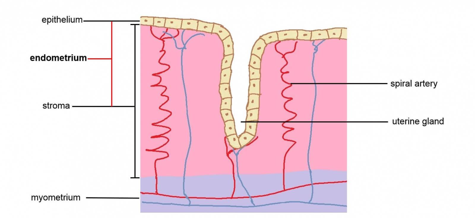 Cancerul de endometru | loungeradio.hu
