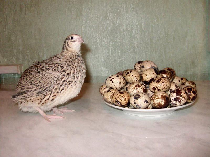 Маньчжурский золотистый перепел и как получать яйца