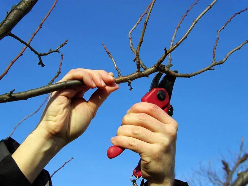 Осенняя обрезка плодовых деревьев - семечковых культур (яблони, калина, груши)