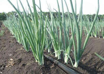 Подготовка гряд для лука