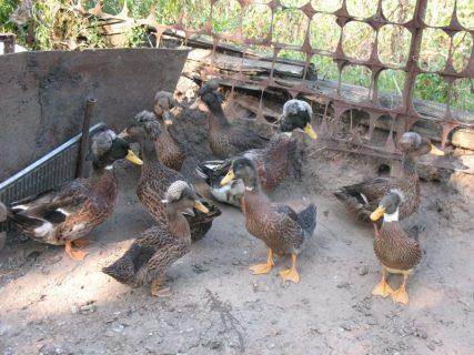 selekcija ptic