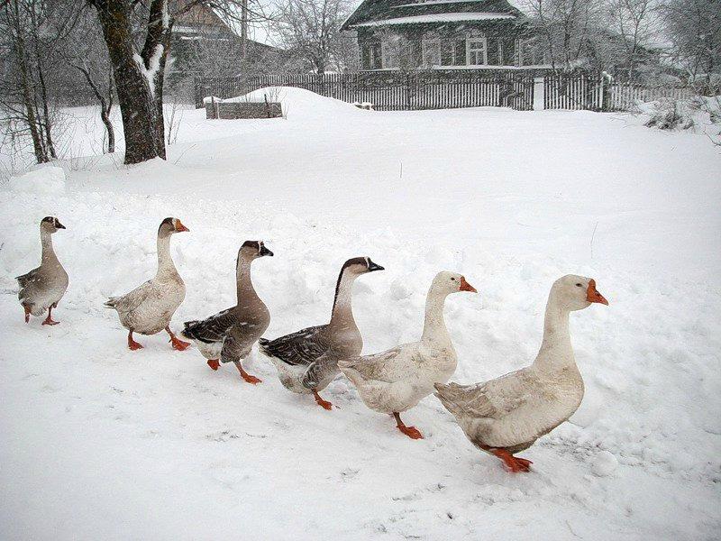 Содержание гусей зимой на приусадебном участке самостоятельно