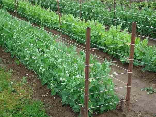 выращивание гороха в открытом грунте