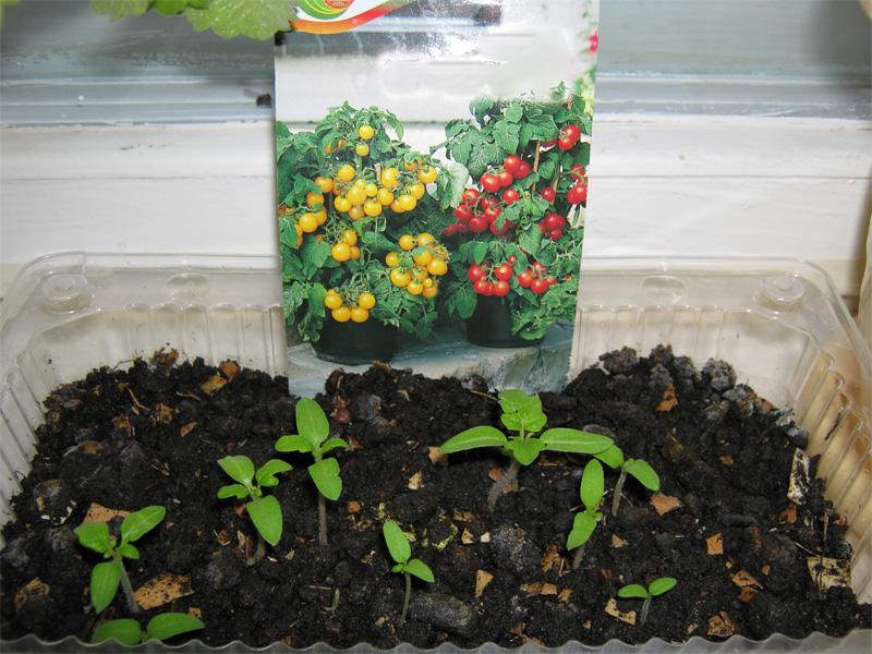 Посадка помидор на рассаду в домашних условиях и обогащение рассады кислородом