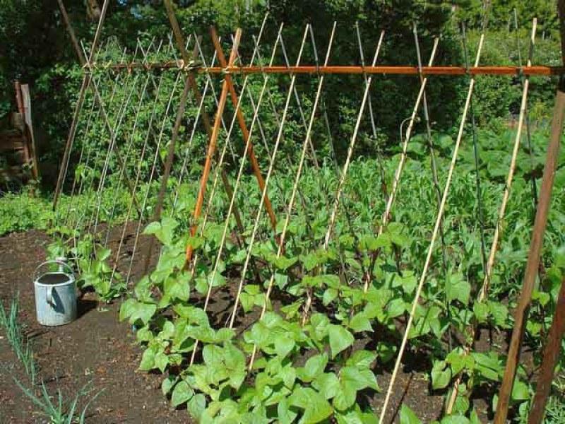 высаживать фасоль