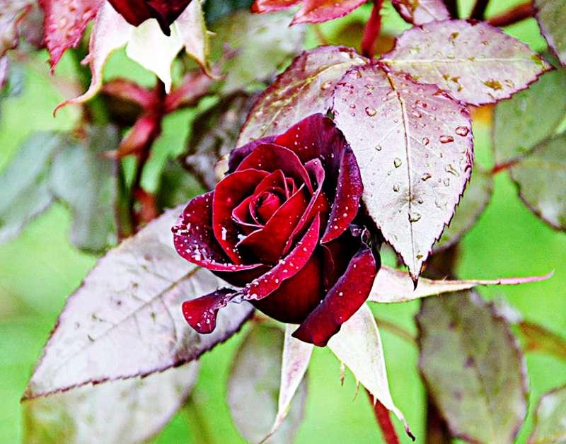 Можно ли сажать розы осенью на даче