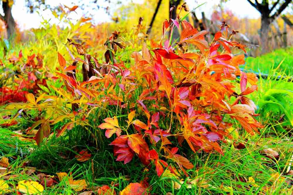 Уход за пионами осенью