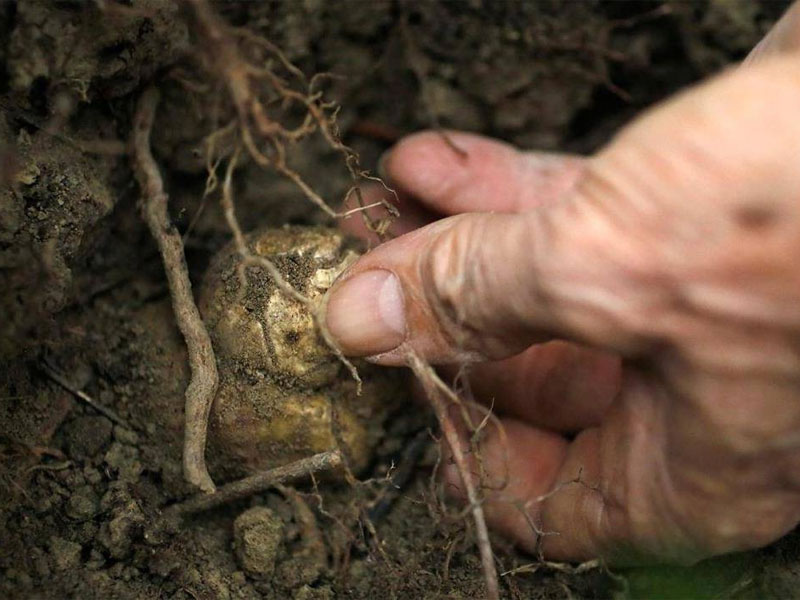 Выращивание трюфелей в домашних условиях