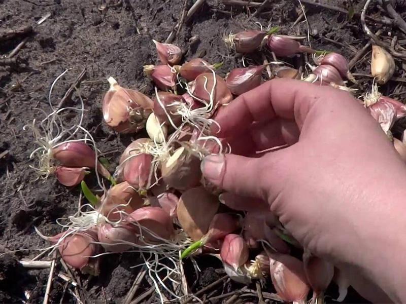 Посадка чеснока весной