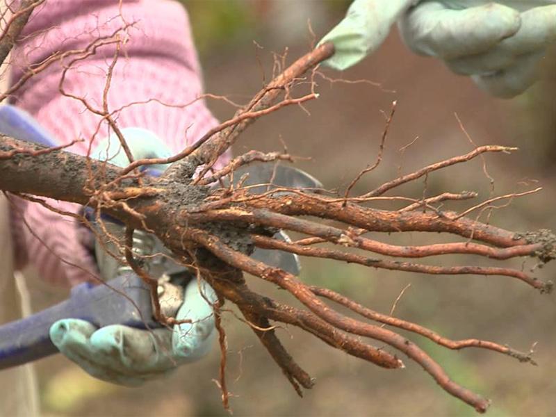 Посадка вишни весной и выбор саженца будущего дерева
