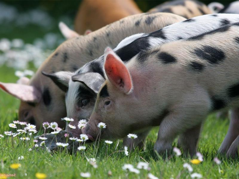 Сальные породы свиней и особенности белорусской пятнистой породы