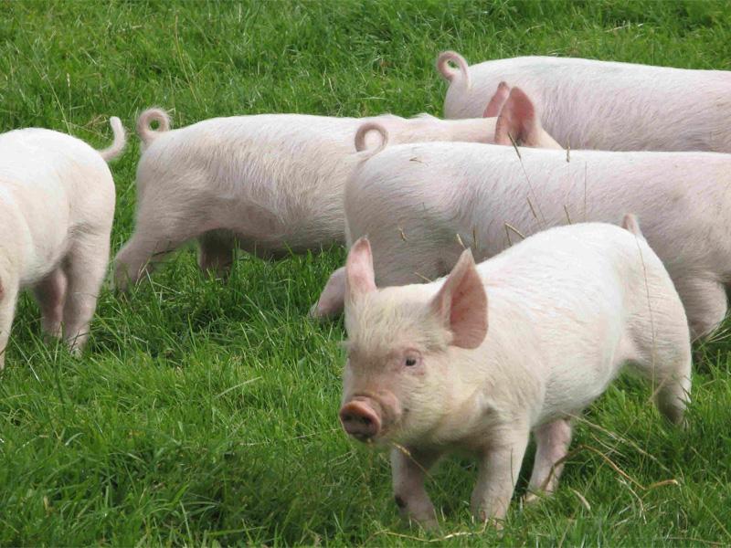 Беконное свиноводство и разведение эстонской породы