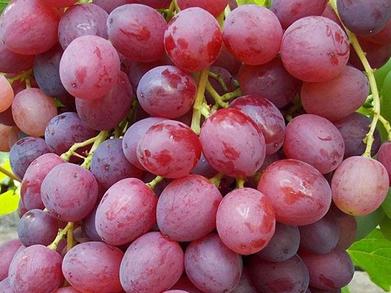 Болезни винограда и способы борьбы с ними