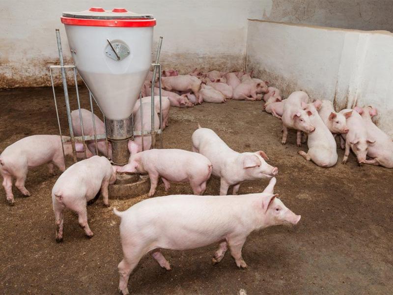 Ландрас – порода свиней. Характеристика и особенность выращивания