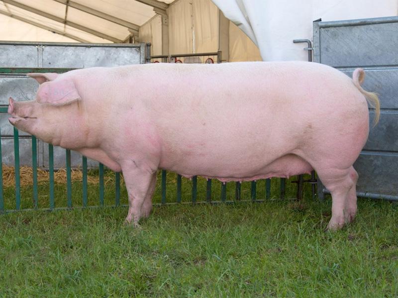 Ландрас – порода свиней. Характеристика и описание породы