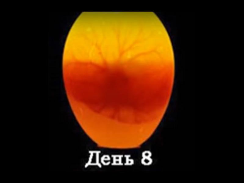 Овоскопирование гусиных яиц на 8 день развития