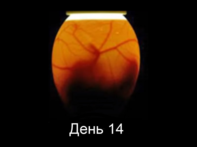 Овоскопирование гусиных яиц на 14 день развития